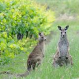 South Australia – Wine's Natural Home