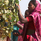 Harvest 2015 in Nashik - A Report